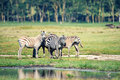 Herd of zebras grazing near savanna watering place Royalty Free Stock Photos