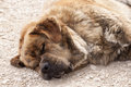 Herding dog sleeping Royalty Free Stock Photo