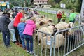 After the herding down of the sheep, Austria. Royalty Free Stock Photo