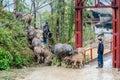 Herding water buffalos in Vietnam Royalty Free Stock Photo