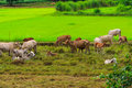 Herds cattle in a meadow landscape thailand Stock Photography