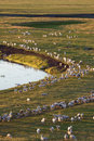 Herds of sheep Royalty Free Stock Image