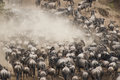 Herds of wildebeest in great migration kenya gathering for the Stock Images
