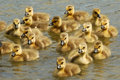 Here Come Goslings! Royalty Free Stock Photography