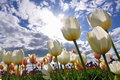 Here comes the sun white tulips with blue sky and clouds background Stock Images