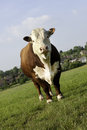 Hereford bull a pedigree in grass pasture field looking at camera Royalty Free Stock Image