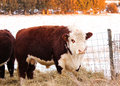 Hereford bull a year old eating hay at sunset Royalty Free Stock Photo