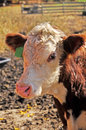 Hereford calf closeup portrait of a Royalty Free Stock Image
