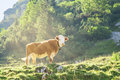 Hereford cattle beef breed cow grazing on Alpine mountains slope Royalty Free Stock Photo