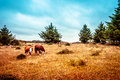 Hereford cattle on the prarie Royalty Free Stock Images
