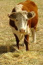 Hereford cow in field Stock Photography