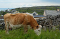 Hereford Cow Grazing On Inishm...