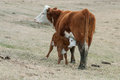 Hereford Cow Nursing Hereford Calf Royalty Free Stock Photo