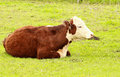 Hereford Heifer Relaxes Royalty Free Stock Photo