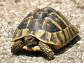 Hermann's Tortoise Royalty Free Stock Image