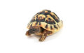 Hermann s tortoise on white cute reptile testudo hermanni background Stock Images