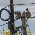 Monkeys sitting on telegraph pole. South Africa