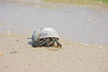 Hermit on the beach crab a peaking from shell Royalty Free Stock Photography
