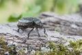 Hermit beetle osmoderma eremita iucn red list and eu habitats directive insect specie sin o barnabita on oak bark this black Stock Photography