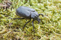 Hermit beetle osmoderma eremita on moss iucn red list and eu habitats directive insect specie sin o barnabita this black is Stock Images
