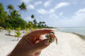 Hermit crab in aitutaki lagoon cook islands human hands holds small on tropical island Royalty Free Stock Photography