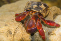 Hermit Crab of Aruba Royalty Free Stock Photo