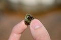 Hermit crab as crabs grow they require larger shells since suitable intact gastropod shells are sometimes a limited resource Stock Photography