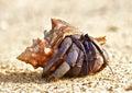 Hermit Crab Royalty Free Stock Photo