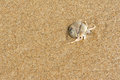 Hermit crab the close up of with its trumpet shell at sandbeach Stock Photo