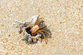 Hermit crab the close up of with its trumpet shell at sandbeach Stock Photography