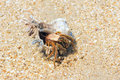 Hermit crab the close up of with its trumpet shell at sandbeach Royalty Free Stock Photography