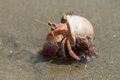 Hermit crab crawling seen in mui ne vietnam Royalty Free Stock Image