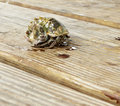 Hermit crab on deck boards Royalty Free Stock Photo