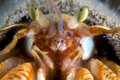 Hermit crab. Focus in the mouth Royalty Free Stock Photos