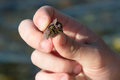 Hermit Crab In Man Hands