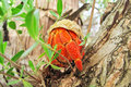 Hermit crab rest on the limb Royalty Free Stock Photo