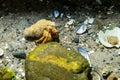 A hermit crab on the sea bottm Royalty Free Stock Photo