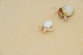 Hermit crab on sea sunny beaches of the pacific ocean Royalty Free Stock Photography