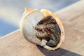Hermit crab in shell on a seaside closeup of spiral ocean shore Stock Image