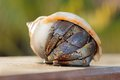 Hermit crab in shell on a seaside closeup of spiral ocean shore Royalty Free Stock Photo