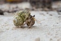 Hermit crab in the shell of a snail Royalty Free Stock Photography