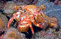 Hermit crab thsi was shot during a night dive off of big island hawaii it has green expressive eyes and carries a bunch of Royalty Free Stock Photos