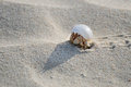 Hermit crab walking on the white sand beach socotra yemen Royalty Free Stock Images