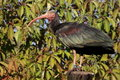 Hermit ibis Royalty Free Stock Images
