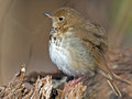 Hermit thrush sitting on a branch Stock Photos