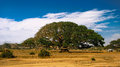 The Heroic Ficus Daaro Sycamore, Segheneyti, symbol of Eritrea Royalty Free Stock Photo