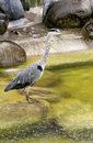 Heron Stock Photos