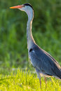 Heron Bird Close Water Grass Stock Image
