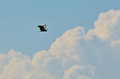 Heron bird flying in the sky Royalty Free Stock Images