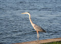 Heron bird standing by the ocean in florida Stock Image
